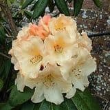 Rhododendron 'Horizon Monarch' - Find Azleas,Camellias,Hydrangea and Rhododendrons at Loder Plants